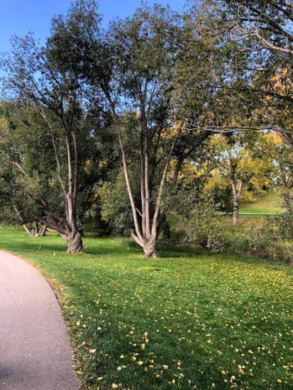 Trees kids love to climb in Confederation Park Calgary