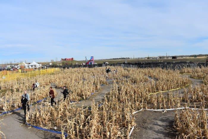 Low, dry corn maze