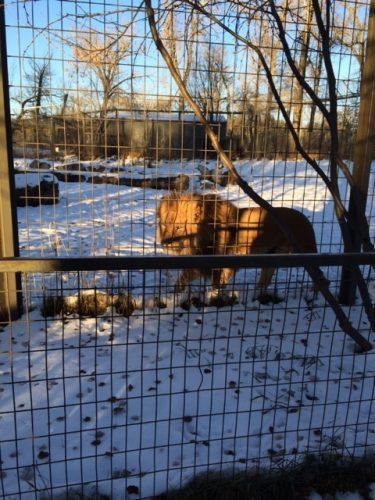 Lions - Calgary Zoo - Calgary Zoo in Winter - calgaryplaygroundreview.com