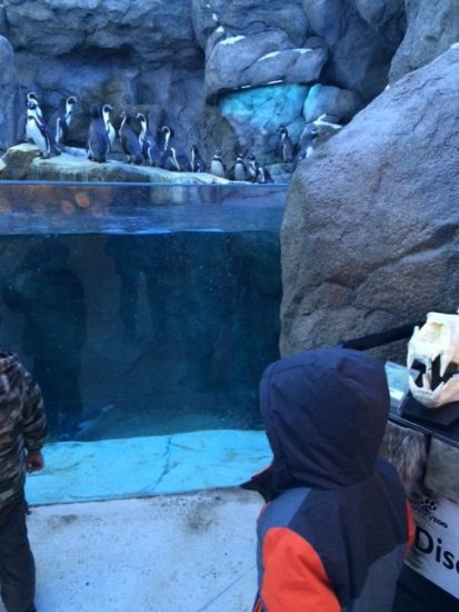 Penguin Plunge - Calgary Zoo - Zoo in the Winter - calgaryplaygroundreview.com