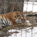Tigers - Calgary Zoo - Winter at the Zoo - calgaryplaygroundreview.com