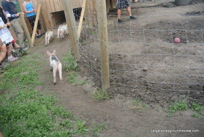 Pig Races at Calgary Farmyard