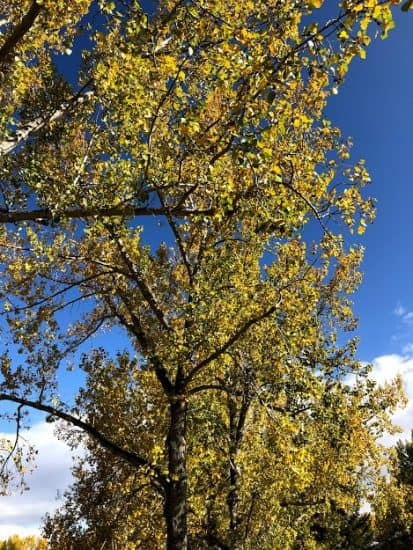 Yellow leaves in Calgary in the Autumn